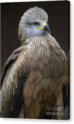Black Kite 4 Canvas Print by Heiko Koehrer-Wagner