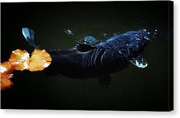 Black Koi By The Lillies Canvas Print by Don Mann