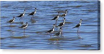 Canvas Print featuring the photograph Black-neck Stilt Dressed In Their Best by Roena King