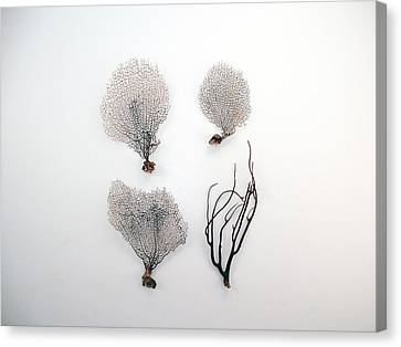 Turks And Caicos Islands Canvas Print - Black Sea Fans On White Background by Jennifer Steen Booher