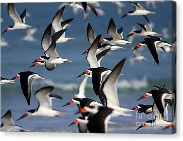 Black Skimmers Flock Canvas Print by Clarence Holmes