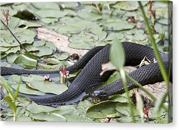 Canvas Print featuring the photograph Snake In The Lillies by Jeannette Hunt