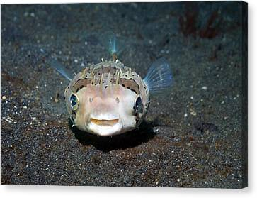 Black-spotted Porcupinefish Canvas Print by Georgette Douwma