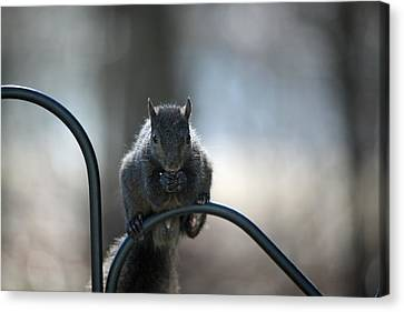 Black Squirrel  Canvas Print by Karol Livote