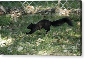 Canvas Print featuring the photograph Black Squirrl On Run by Yumi Johnson