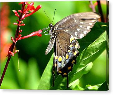 Canvas Print featuring the photograph Black Swallow Tail Butterfly by Jodi Terracina