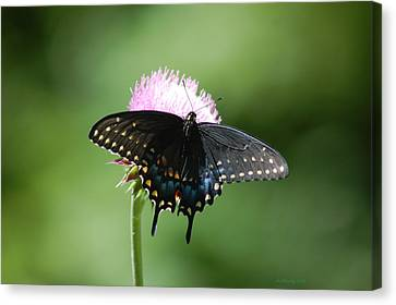 Black Swallowtail In Macro Canvas Print