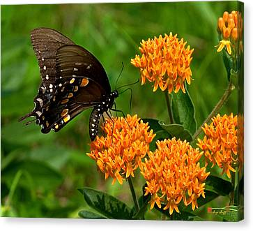 Black Swallowtail Visiting Butterfly Weed Din012 Canvas Print by Gerry Gantt