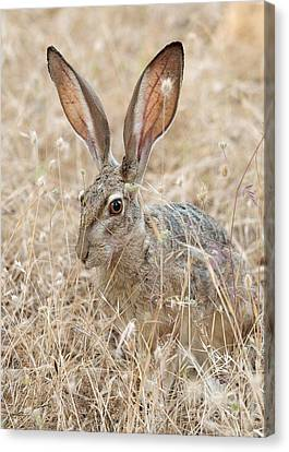Canvas Print featuring the photograph Black-tailed Hare by Doug Herr