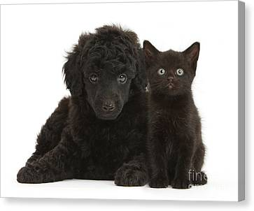 Black Toy Poodle And Black Kitten Canvas Print by Mark Taylor