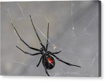 Black Widow Spider Canvas Print by Scott McGuire