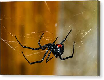 Black Widow Trap Canvas Print by David Waldo