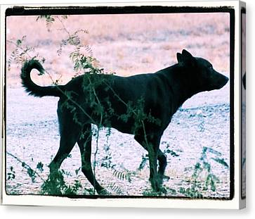 Blackdog Canvas Print
