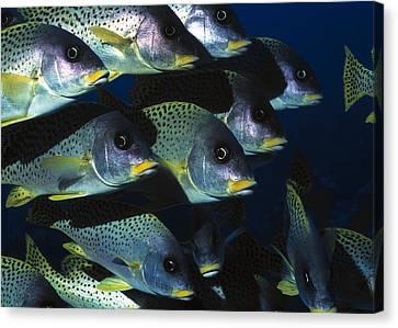 Sudan Red Canvas Print - Blackspotted Rubberlip Fish by Georgette Douwma