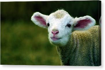 Bleating Lamb Canvas Print by Photo by Alan Shapiro