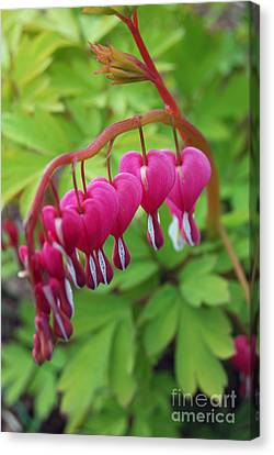 Canvas Print featuring the photograph Bleeding Heart  by Eva Kaufman