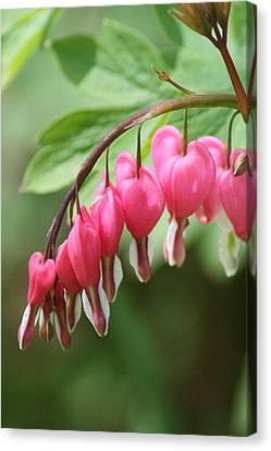 Canvas Print featuring the photograph Bleeding Heart I by Peg Toliver