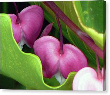 Bleeding Heart Nestled  Canvas Print by Pamela Patch