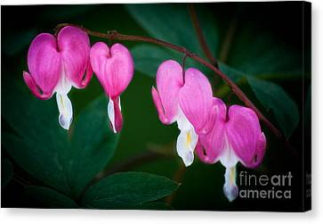 Bleeding Hearts 002 Canvas Print by Larry Carr