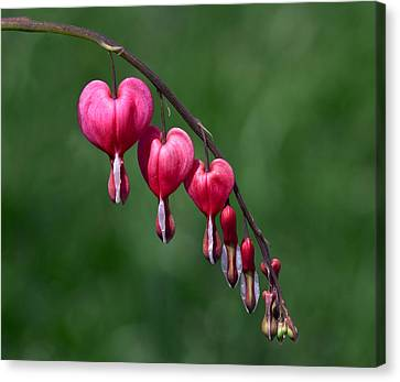 Canvas Print featuring the photograph Bleeding Hearts 2 by David Lester