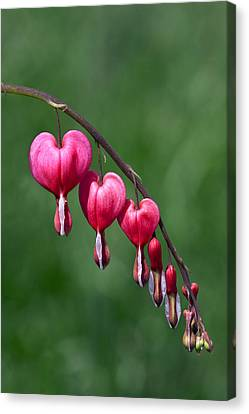 Canvas Print featuring the photograph Bleeding Hearts by David Lester