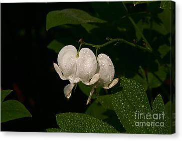 Canvas Print featuring the photograph Bleeding Hearts by Joan McArthur