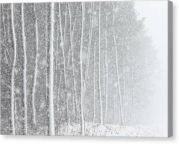 Blizzard Blankets Trees In Snow Canvas Print by Douglas MacDonald