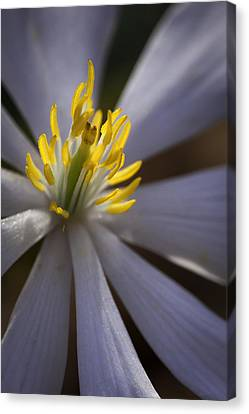Bloodroot In Sunbeam Canvas Print by Rob Travis