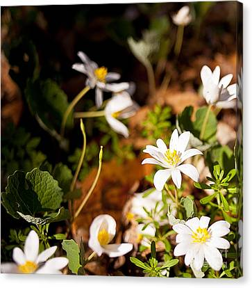 Bloodroot And Spring In The Woodland Canvas Print by Lee Craig