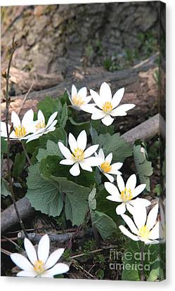 Bloodroot Canvas Print by Ted Kinsman