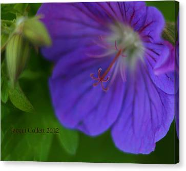 Bloom IIi Canvas Print by Jacqui Collett