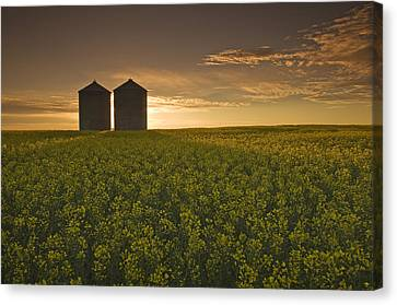 Bloom Stage Canola Field With Grain Canvas Print by Dave Reede