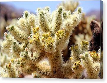Blooming Cholla Canvas Print by Leigh Meredith