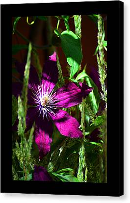 Canvas Print featuring the photograph Blooming Clematis by Susanne Still
