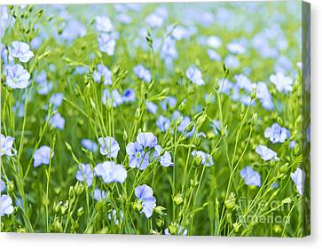 Blooming Flax Canvas Print
