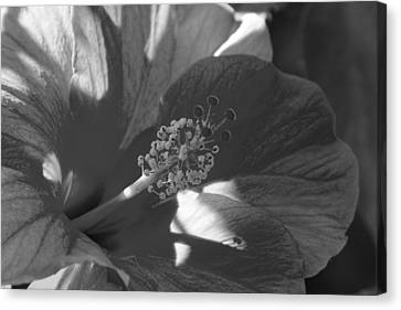 Blooming Hibiscus Canvas Print