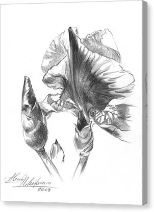 Blooming Iris  Canvas Print