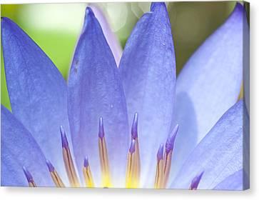 Blooming Lotus Canvas Print by Maratsavalai Lertsirivilai