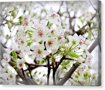 Canvas Print featuring the photograph Blooming Ornamental Tree by Kay Novy