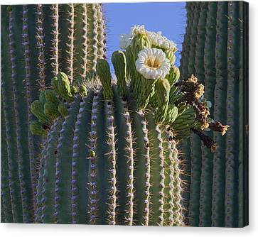 Blooming Saguaro   Sonora Desert Canvas Print by Nathan Mccreery