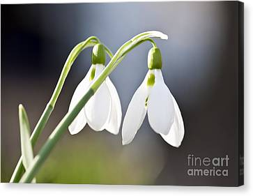 Blooming Snowdrops Canvas Print by Elena Elisseeva