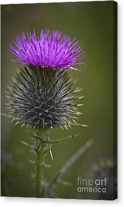 Blooming Thistle Canvas Print