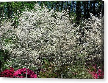 Blossom Explosion Canvas Print by Christopher McPhail
