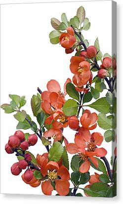 Canvas Print featuring the photograph Blossoming Japanese Quince Chaenomeles by Aleksandr Volkov