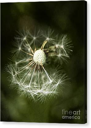 Blown Dandelion Canvas Print