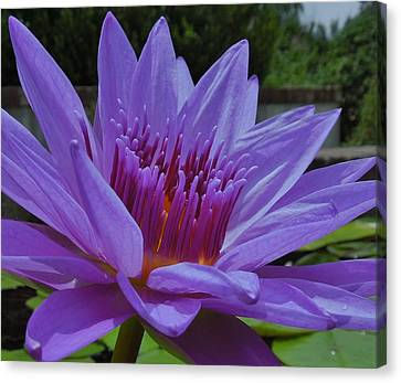 Blue And Purple Lotus Flower Canvas Print by Chad and Stacey Hall