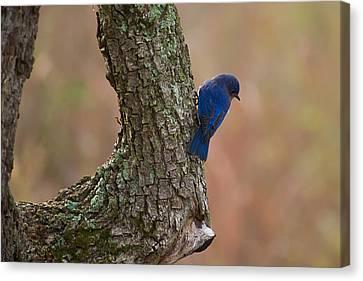 Blue Bird 2 Canvas Print