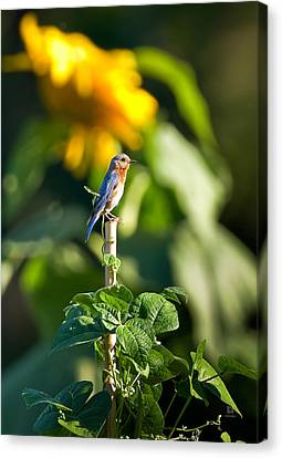 Blue Bird On The Bean Stalk Canvas Print