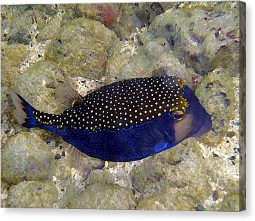 Blue Box Puffer Fish Canvas Print by Tony and Kristi Middleton