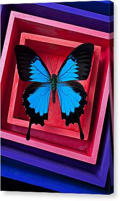 Blue Butterfly In Pink Box Canvas Print by Garry Gay